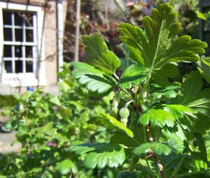 Pic of gooseberry bushes