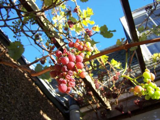 grapes15